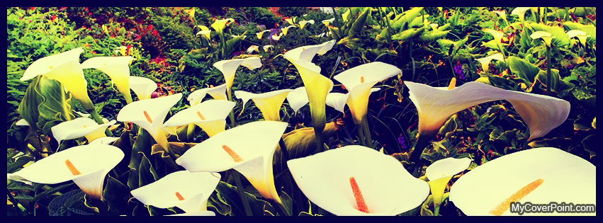 Calla Lilies Flowers Facebook Cover