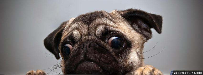 Cute Pug Facebook Timeline Cover