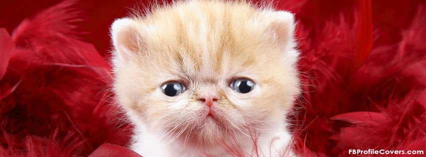 cute little kitty facebook timeline cover